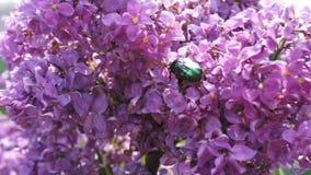 chafer Fiori e scarabeo della primavera video d archivio