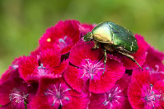 Chafer on a flower Royalty Free Stock Photos