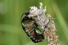 Chafer. The Flower Chafer on a leaf Royalty Free Stock Photo