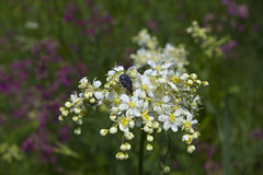 Chafer on flowers of meadowsweet Stock Photos