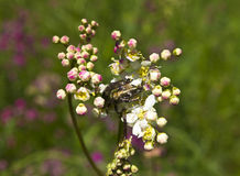 Chafer on flowers of meadowsweet Royalty Free Stock Photography