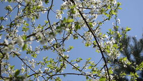Chafer fly bloom tree. Chafer beetle bug fly and fruit tree twig blooms move in wind on background of blue sky stock video