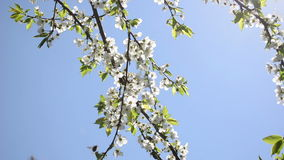 Chafer fly bloom tree. Chafer beetles bugs fly and fruit tree twig blooms move in wind on background of blue sky stock video footage
