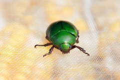 Chafer Royalty Free Stock Photo