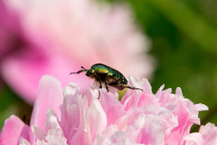 Chafer gold Royalty Free Stock Images