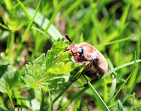 Chafer on the green grass Stock Images
