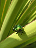 The chafer. On green leaf in macro view Stock Images