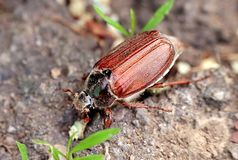 Chafer on the ground. With grass close up in the spring Royalty Free Stock Photo