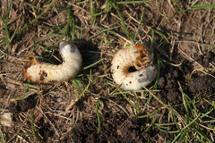 Chafer grubs. Stock Photo
