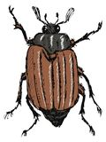 Chafer. Hand drawn, doodle, sketch illustration of chafer Stock Photography