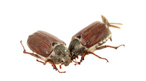 Chafer isolated Stock Image