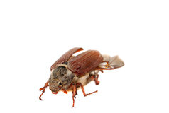 Chafer isolated. On white background Royalty Free Stock Photo