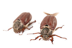 Chafer isolated Royalty Free Stock Photography