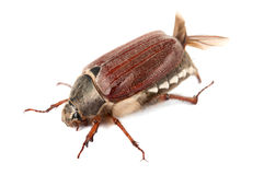 Chafer isolated Stock Photos