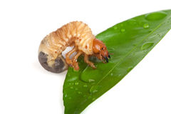 Chafer larva. On green leaf Royalty Free Stock Images