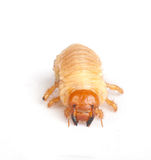 Chafer larva. Isolated on white Royalty Free Stock Images