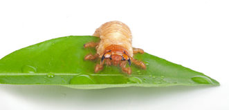 Chafer larva on green leaf Stock Images