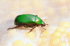 Chafer. The lateral close-up of emerald chafer Stock Images