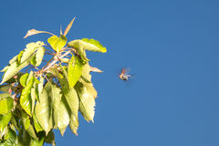 Chafer at leaf against the sky. Chafer at leaf against the blue sky Stock Photography