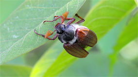 Chafer on leaves stock video