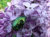 Chafer. The chafer on lilac flower Royalty Free Stock Image