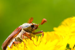 Chafer Royalty Free Stock Photography