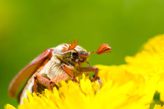 Chafer Royalty Free Stock Photos