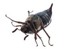 Chafer Stock Image