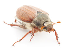 Chafer. Macro on a white background Stock Photo