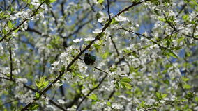 Chafer mate spring bloom stock video footage