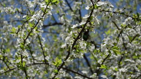 Chafer mate spring bloom. Green chafer bug beetle couple mate season on white bloom fruit tree in spring stock footage