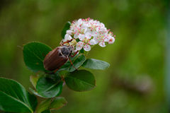 Chafer. The may beetle. nature, summer Stock Photography