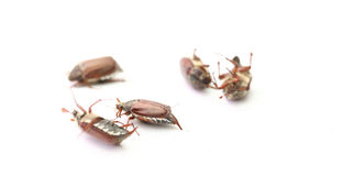 Chafer Royalty Free Stock Images