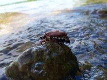 Chafer na kamieniu w wodzie Fotografia Royalty Free