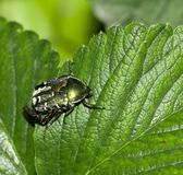 Chafer in nature. macro. In the park in nature Royalty Free Stock Image