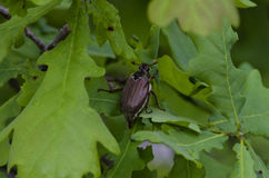 Chafer on oak leaves. Chafer on the green leaves of oak Royalty Free Stock Images