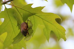 Chafer. On the oak tree Royalty Free Stock Photo