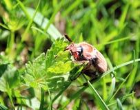Chafer op het groene gras Stock Afbeeldingen