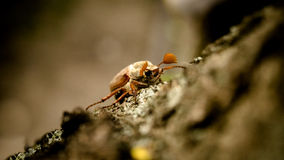 Chafer. Photo chafer beetle on a tree trunk Stock Photo