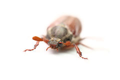 Chafer Stock Images