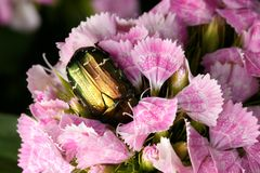 Chafer on pink flower Stock Photos