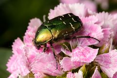 Chafer on pink flower Stock Image
