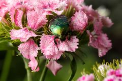 Chafer on pink flower Stock Images
