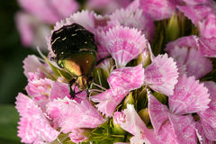 Chafer on pink flower Royalty Free Stock Image