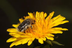 Chafer shaggy beetle Stock Image
