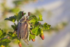 Chafer 4. Chafer sitting on a branch Stock Photography