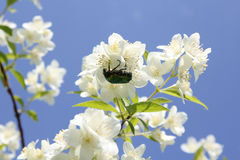 Chafer. Sitting on a bright flower cluster of apple trees the sky royalty free stock photography