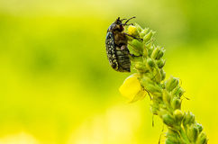Chafer. Sitting on a flower on a yellow-green background Royalty Free Stock Photography