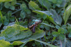 Chafer. Takes off from a leaf Royalty Free Stock Photography