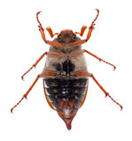 Chafer tips over Royalty Free Stock Images